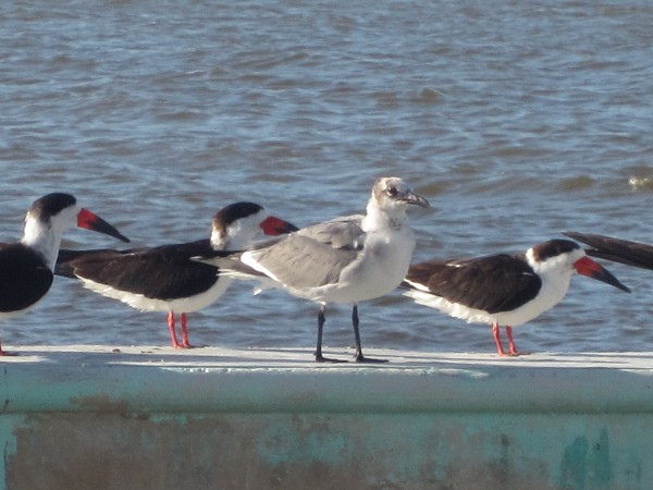Seagulls and birds with red beaks...